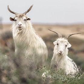 kasjmir goats for the cuma cashmere lining